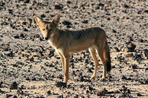 Coyote in Panamint Valley