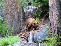 Black Bear in Paradise Valley