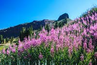 Fireweed and Emigrant Crag