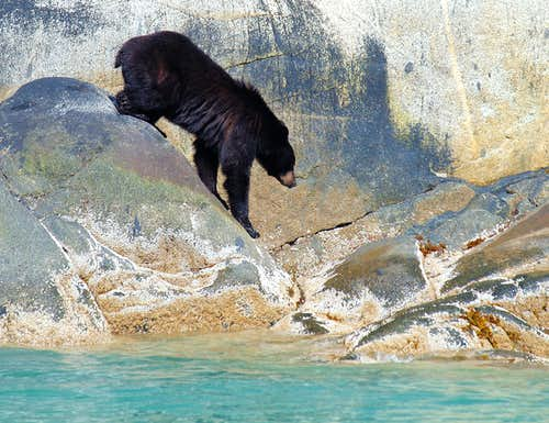 Shell fishing black bear
