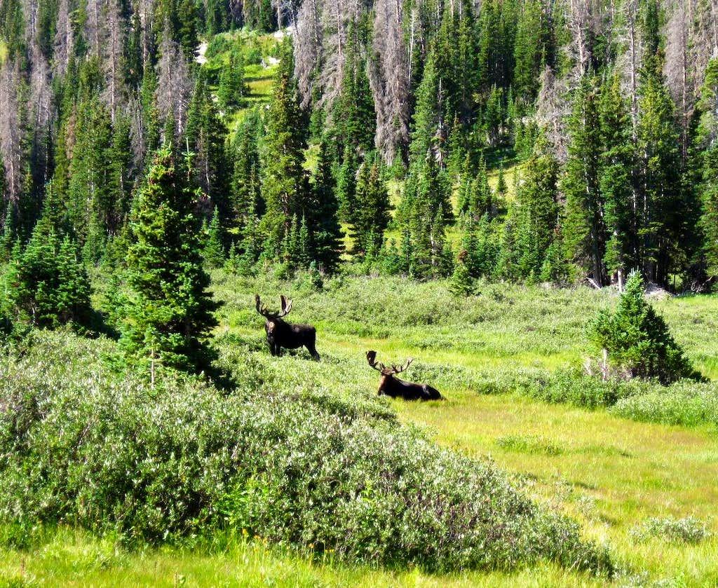 Moose in the Rawah