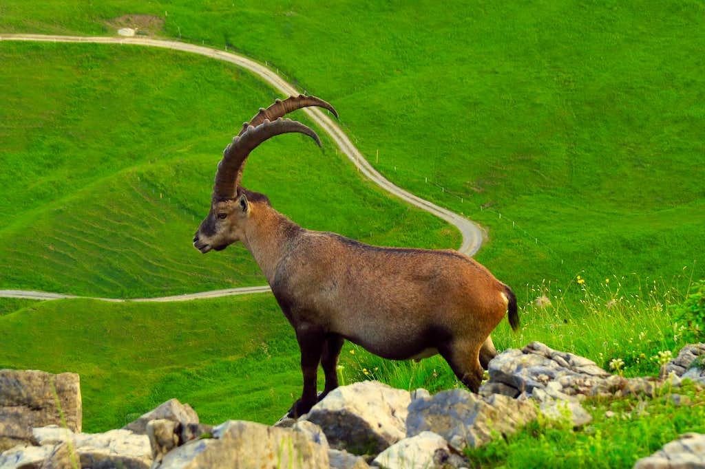 Ibex near Augstmatthorn