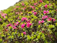 Rhododendron hirsutum, or alpenrose, and lots of them