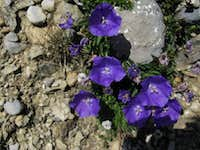 Carpathian bellflower <br />