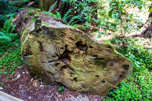 Downed Redwood