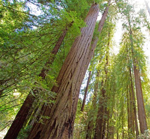 Mammoth Coastal Redwoods