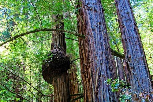 Large Redwood Burl