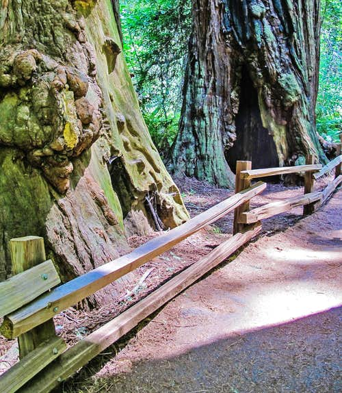 Main Trail - Burl Visible