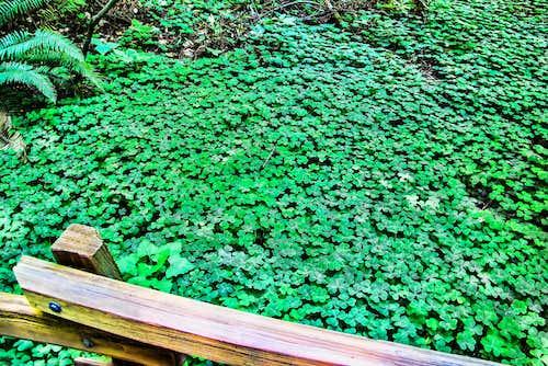 Redwood Sorrel (not clover)