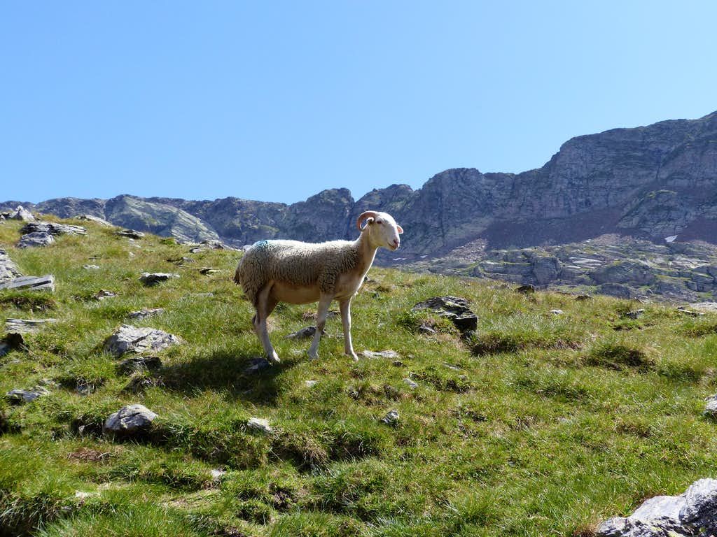 Sheep at the Consaterre lakes
