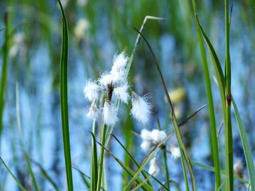Cottongrass at Consaterre  (Eriophorum vaginatum)
