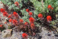Indian Paintbrush along shoreline