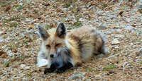 High Altitude Fox