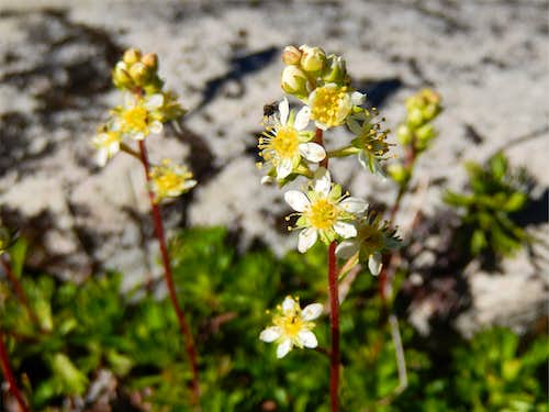 Leatherleaf Saxifrage in full bloom