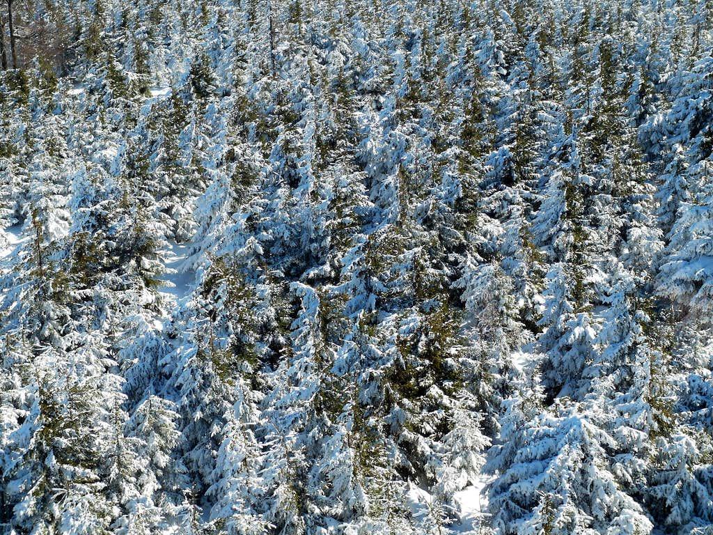 White firs