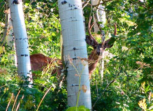 Butler Fork Deer