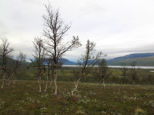 Sparse Trees between Altavass and Gaskas