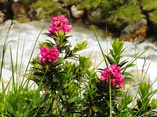 Alpenrose in the Kromertal