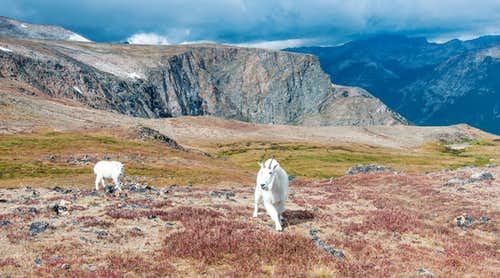 Mountain goats on the FTD Plateau