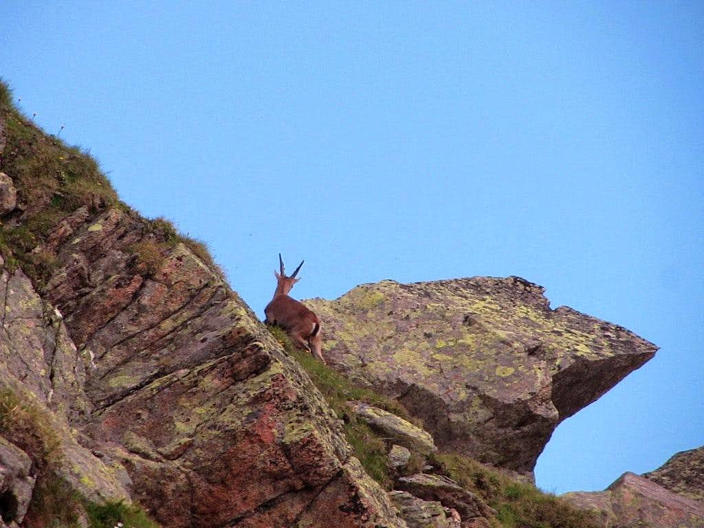 A mountain goat climbing Klein Vallüla