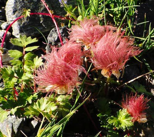 Alpine flower on the slopes of Rußkopf, deep in the Jamtal valley