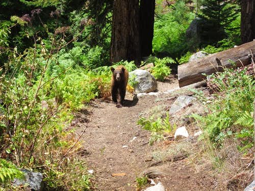 Bear along Bubbs Creek