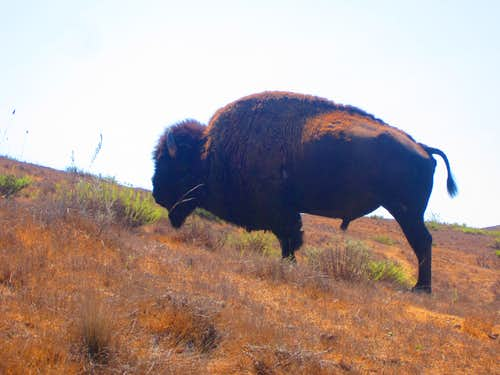 The bison seemed undisturbed by my passing
