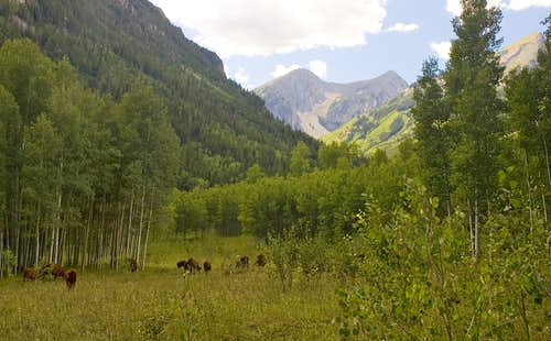 Cows on West Snowmass Trail