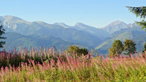 Fireweed on Gubałówka hill, looking to the Western Slovak Tatras