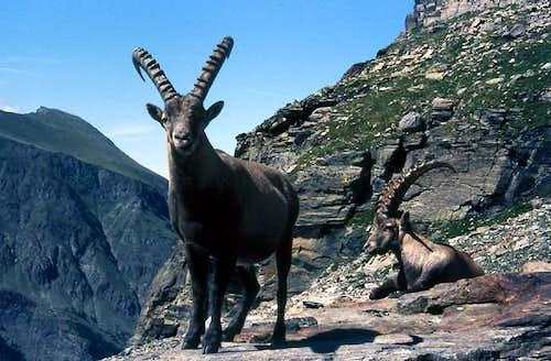 Steinbocks (Capra ibex) at the foot of the moraine leading to Money bivouac