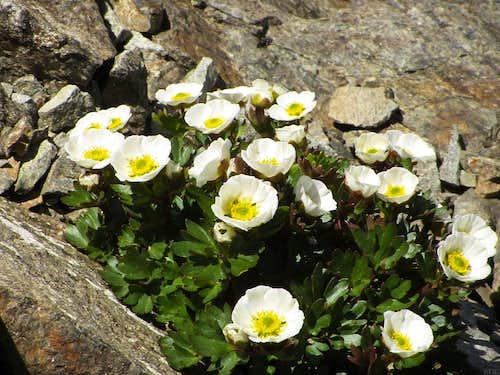 Ranunculus glacialis on the Hintere Jamspitze