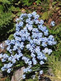 Forget-me-not flowers deep in the Ochsental