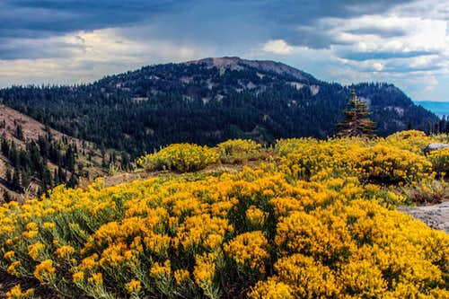 Rabbitbrush and Mt. Conard