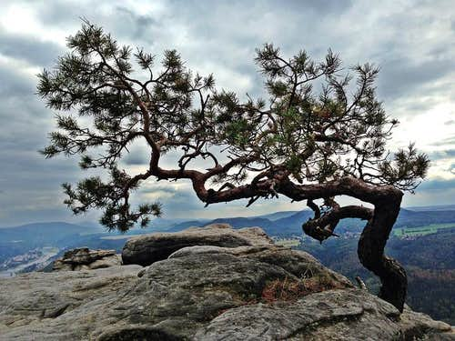 Little pine tree on top of the Lilienstein