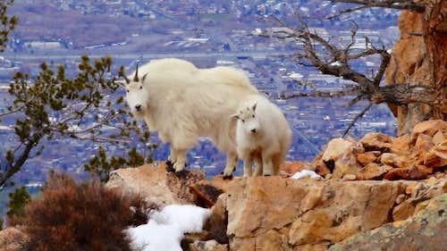 Olympus Goats.