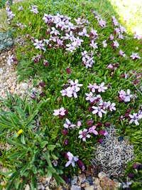 Pretty Alpine Flowers