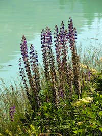 Lupines at the banks of the Kops Speicher