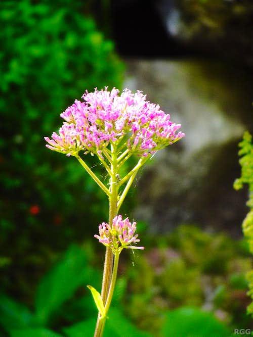 Adenostyles alliariae(?)