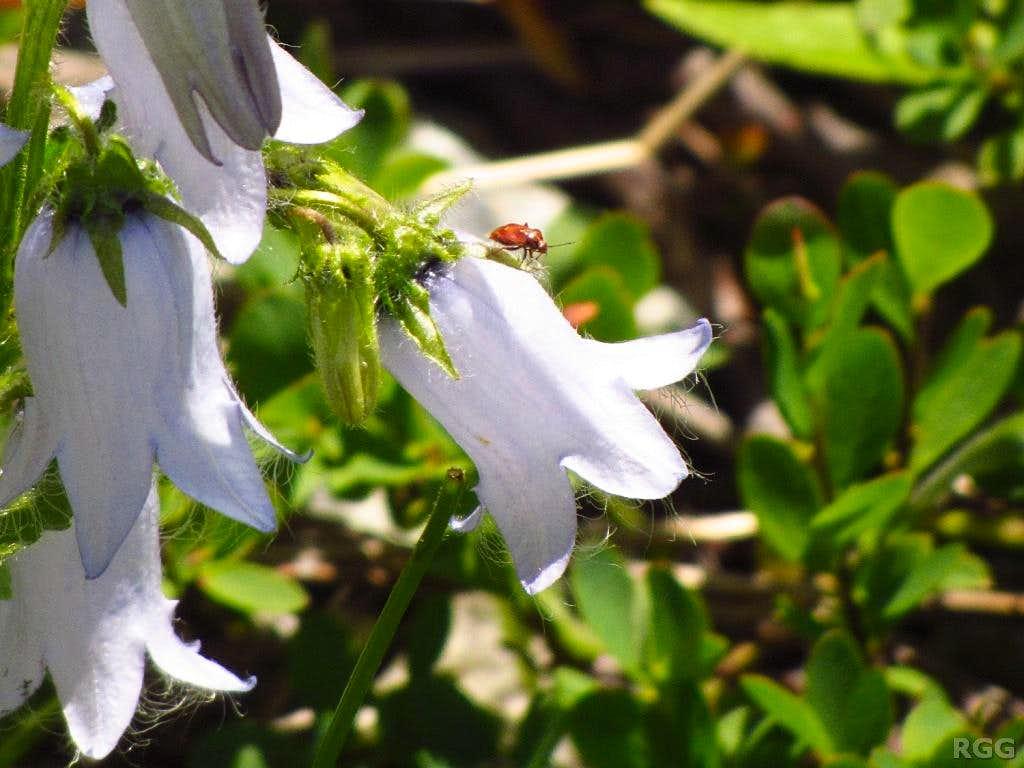 A ladybug on an alpine bellflower (<i>Campanula alpina</i>)