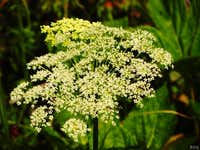 Hogweed in the Alps