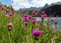 Alpine flowers in the Silvretta group