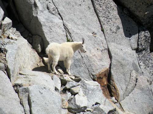 Goat! on Mt Stuart