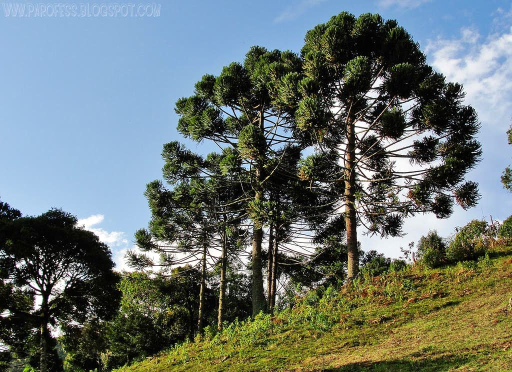Aracarias trees
