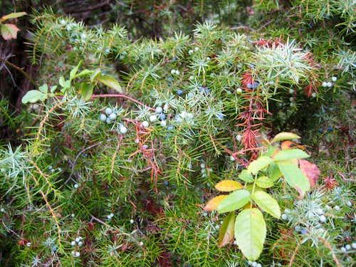 Juniper in Autumn