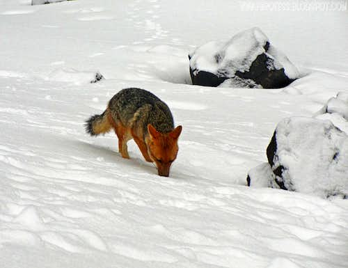 Andean fox of Cotopaxi