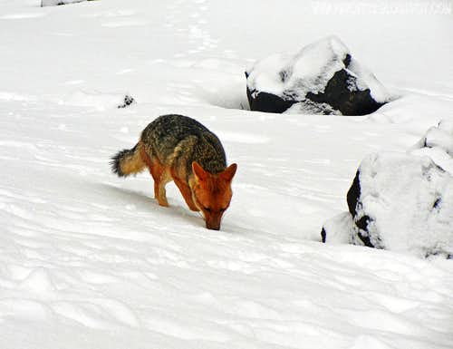 Andean fox of Cotopaxi