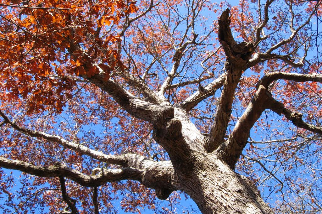 Flaming Oak