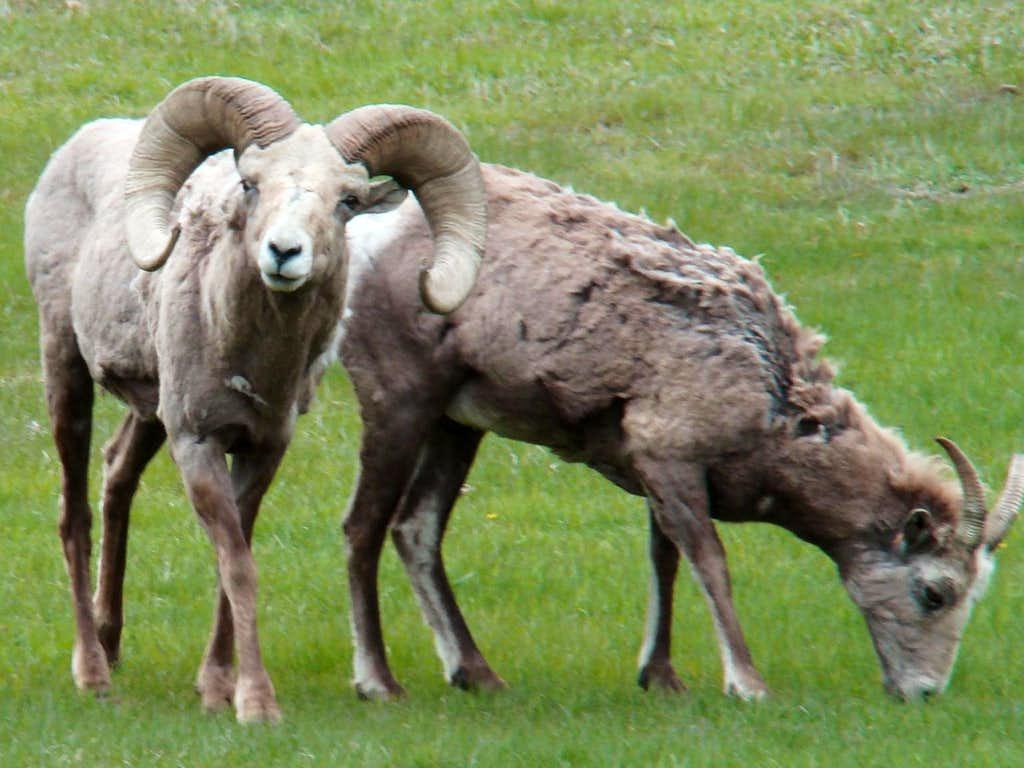 Fort Robinson Bighorns