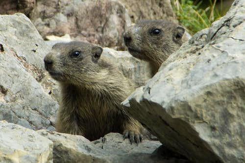Marmot Twins