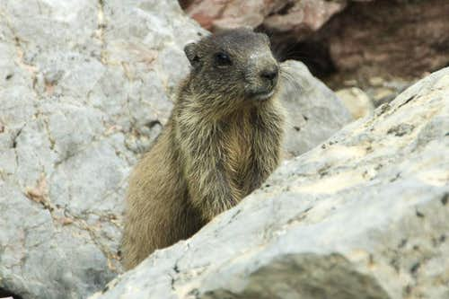 Marmot child